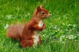 save-garden-wildlife-10-red-squirrel
