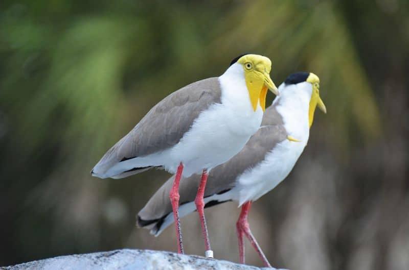 save-garden-wildlife-2-northern-lapwing