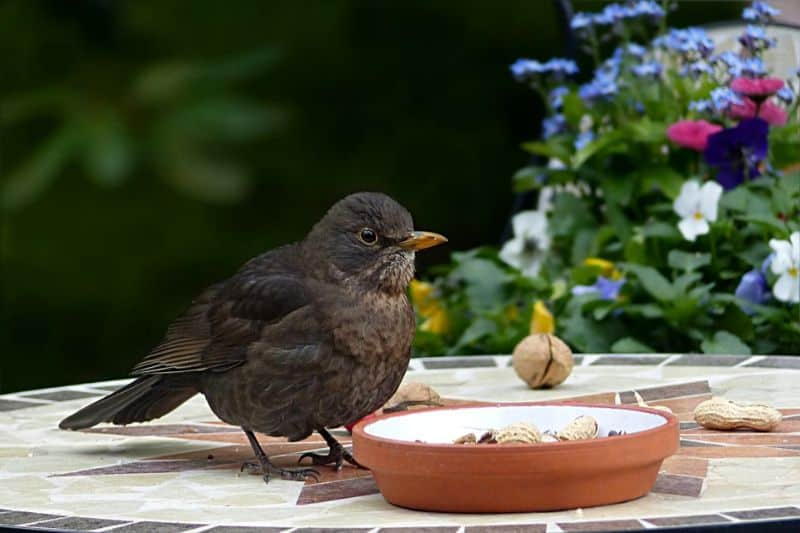 save-garden-wildlife-3-song-thrush