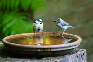 save-garden-wildlife-5-freshen-them-up-with-a-bird-bath