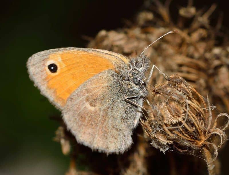 save-garden-wildlife-7-large-heath