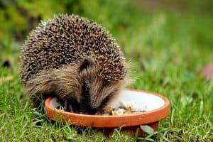save-garden-wildlife-9-western-european-hedgehog