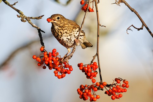 song-thrush-garden-wildlife