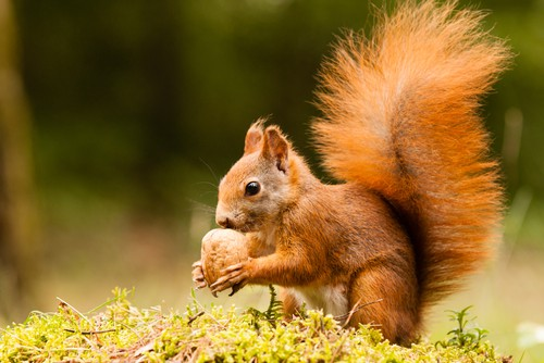 red-squirrel-garden-wildlife