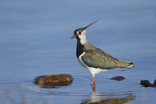 northern-lapwing-garden-wildlife