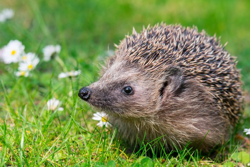 hedgehog-garden-wildlife