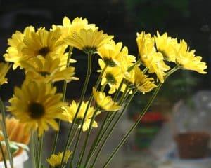 Carnation Edible Plant