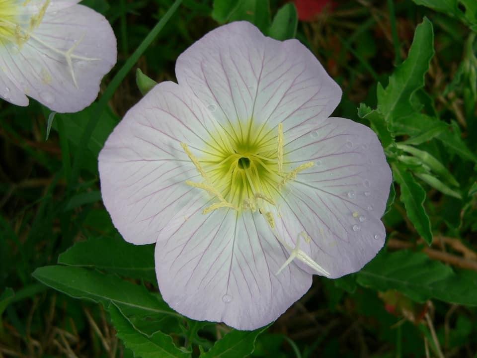 Primrose Edible Plant