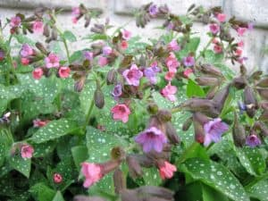 Lungwort Edible Plant