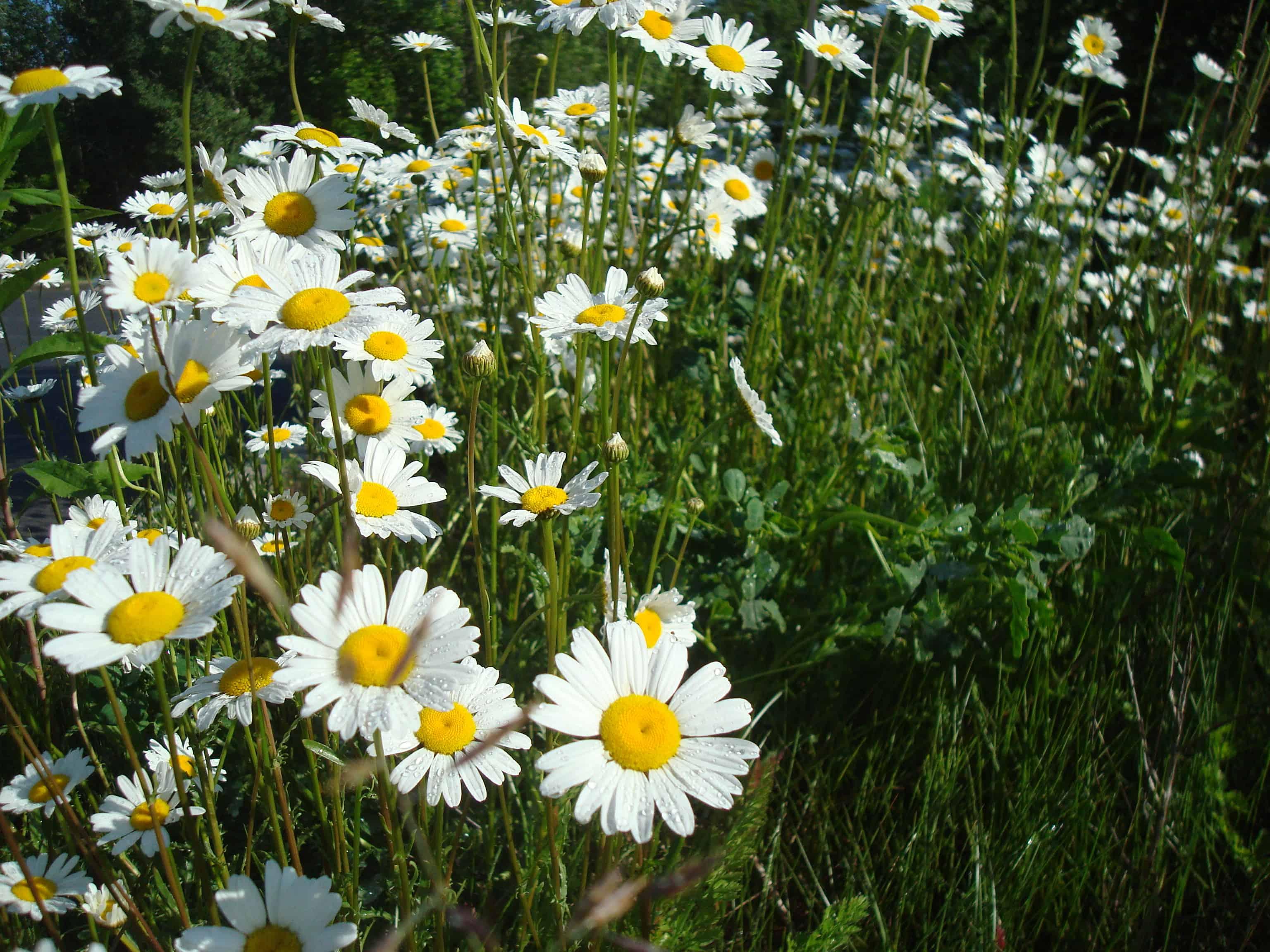 Daises Edible Plant