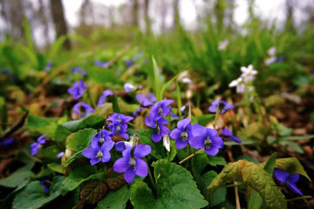 Violets Garden Plants