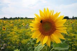 Sunflowers Edible Plant