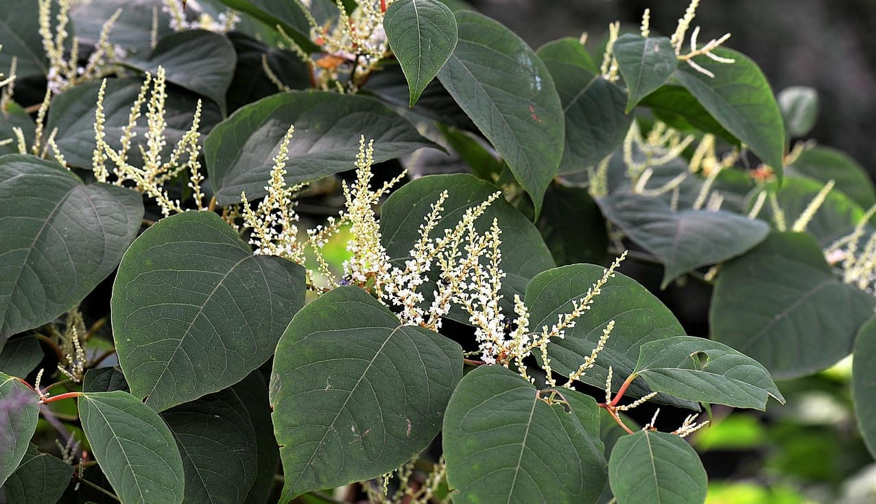 common-destructive-plants-uk-1-japanese-knotweed