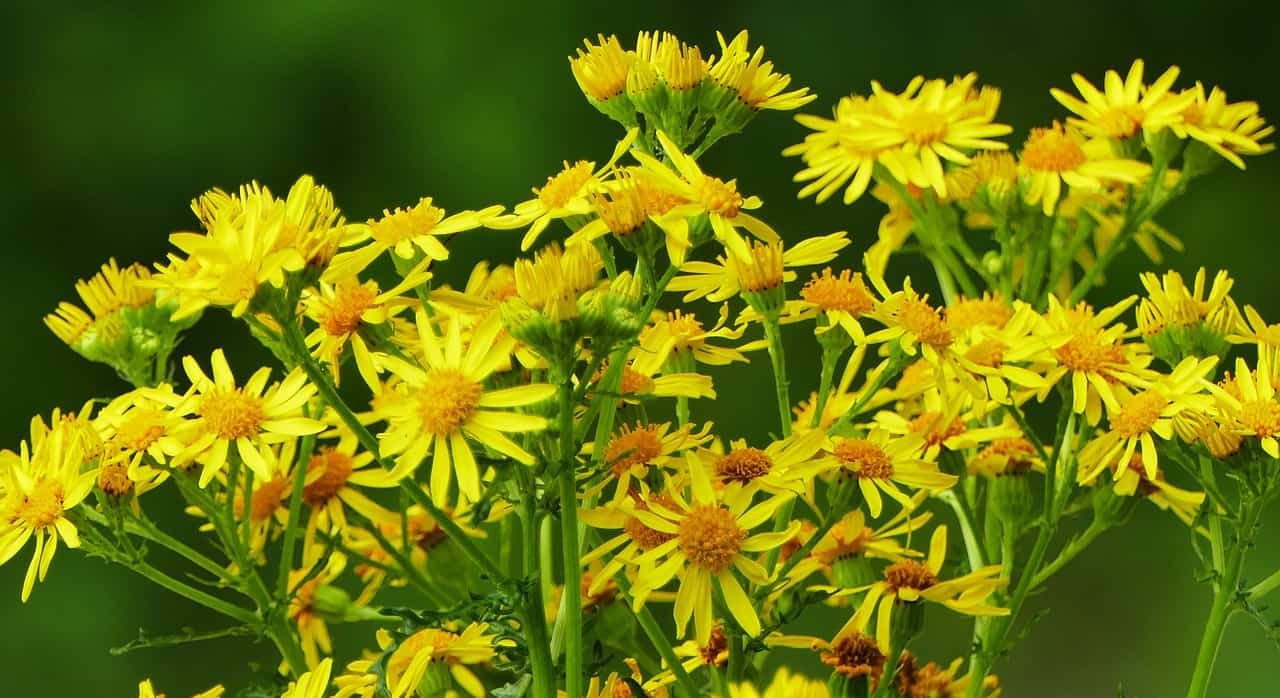 plants-hay-fever-victims-should-avoid-1-ragweed