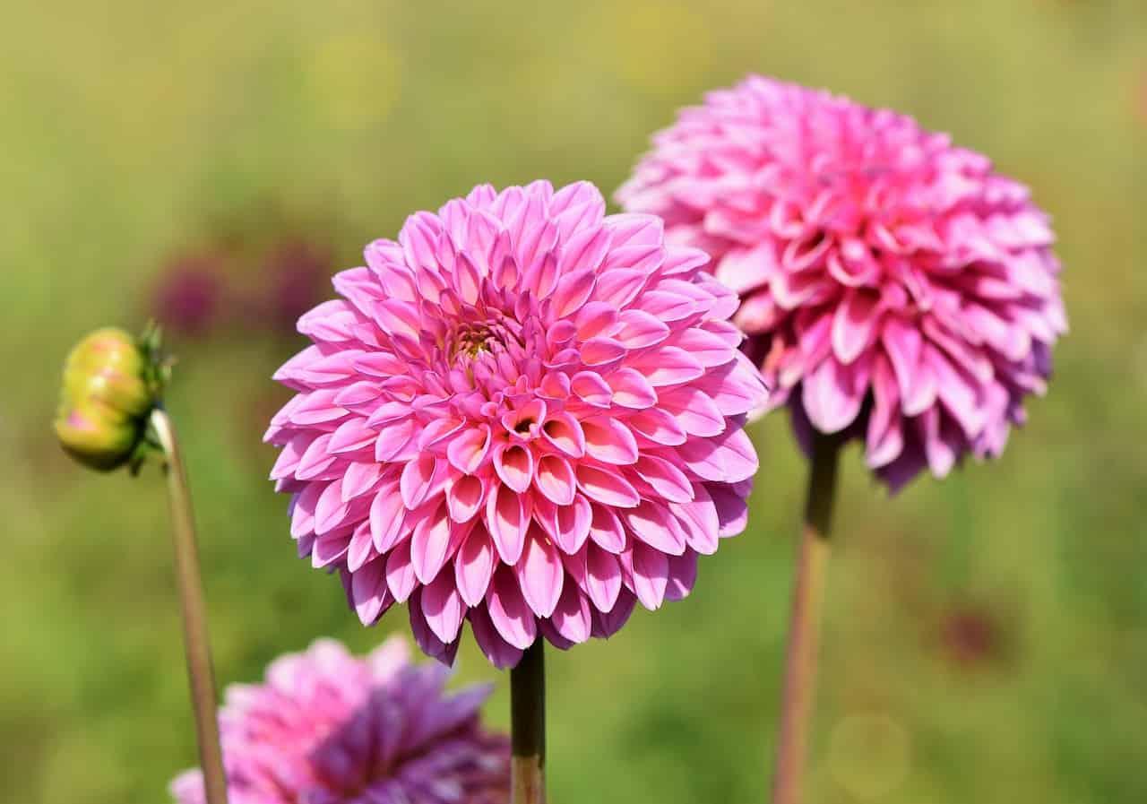 plants-hay-fever-victims-should-avoid-2-dahlia