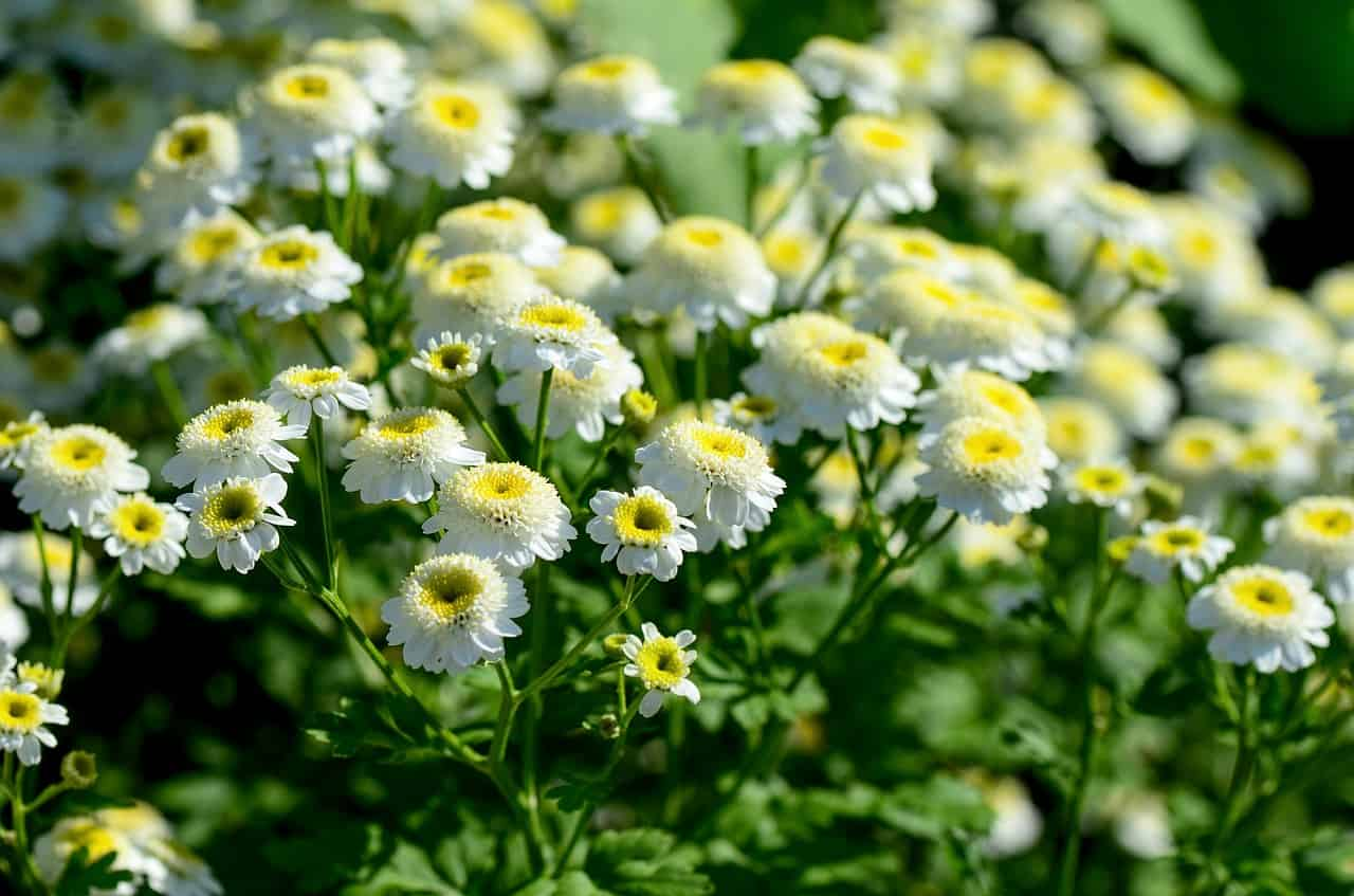 plants-hay-fever-victims-should-avoid-5-chrysanthemums