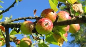 gardening-significant-health-benefits-fruit-tree-apple