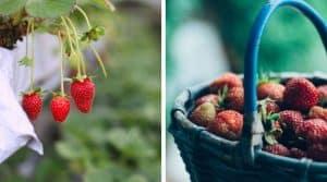 gardening-significant-health-benefits-strawberry-fruit-garden