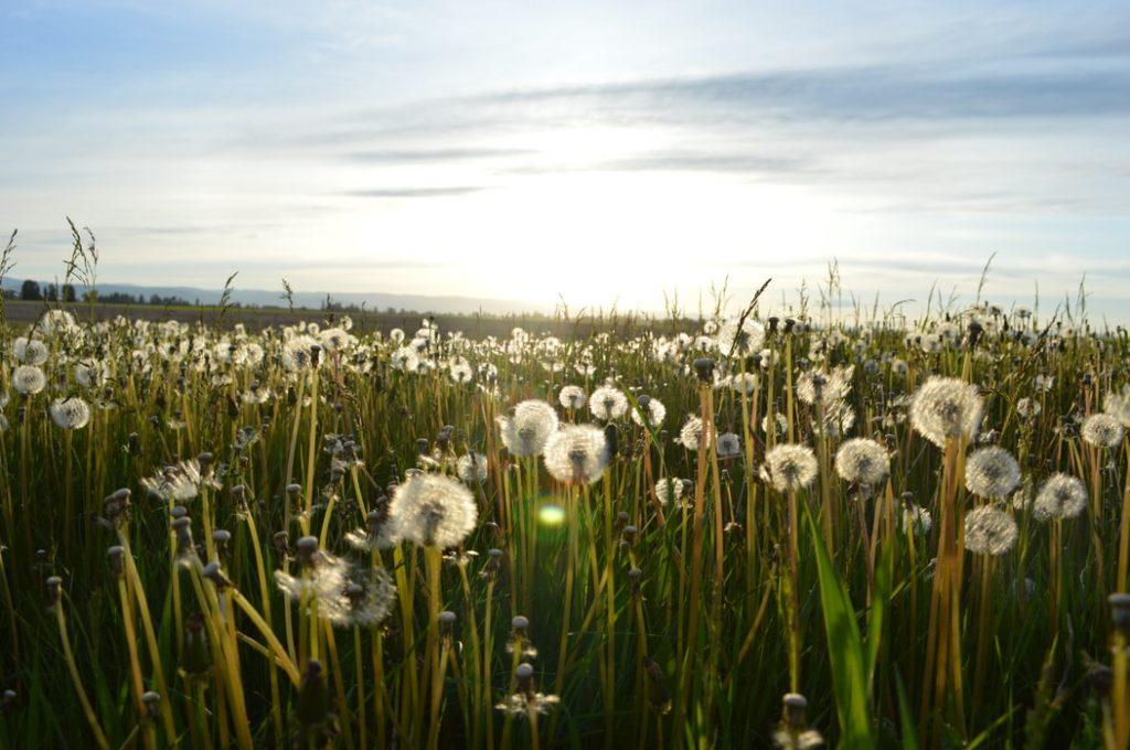Dandelions in a large field