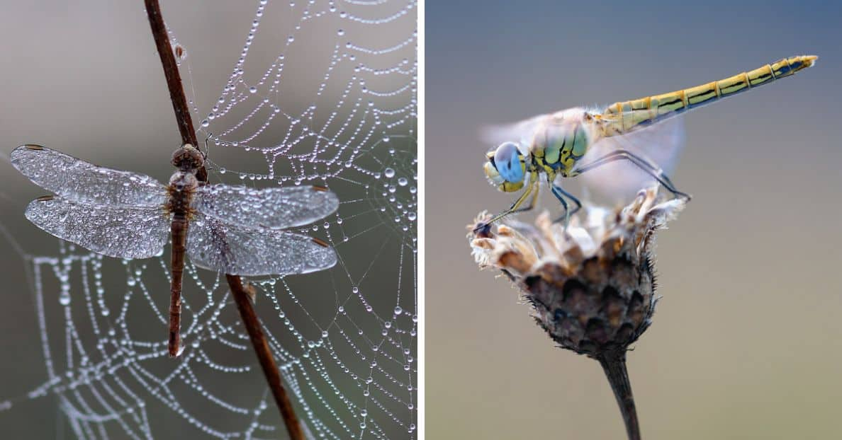 attract-dragonflies-to-garden