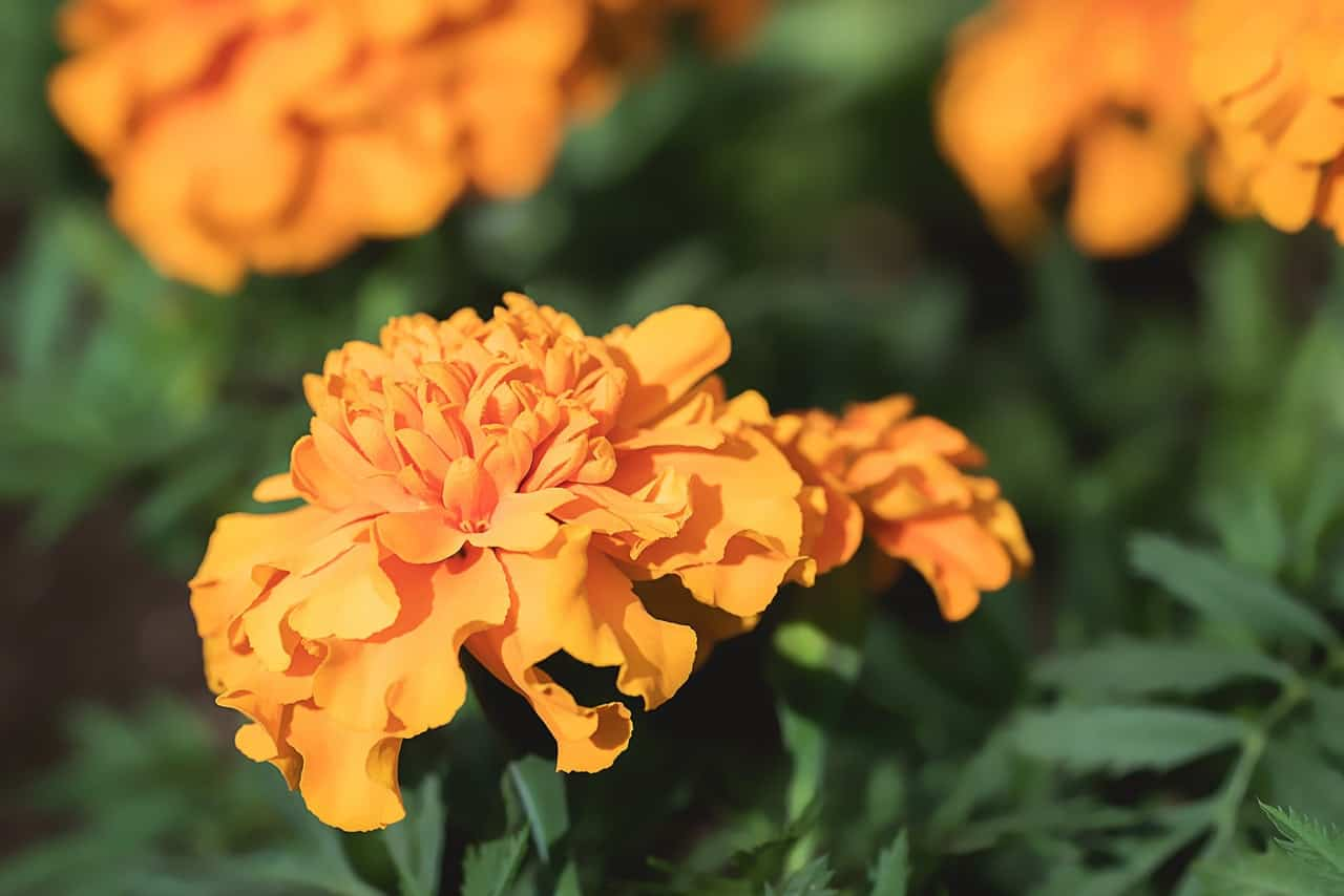 nine-fast-growing-flowers-5-marigold