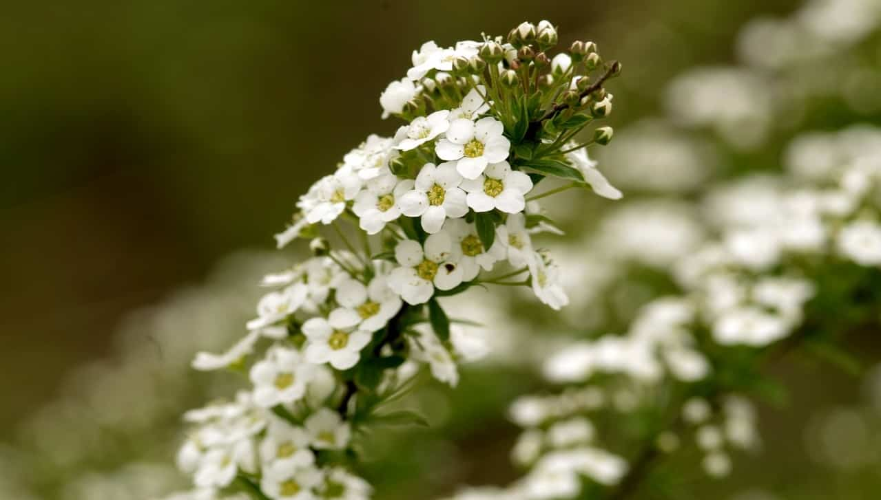 nine-fast-growing-flowers-7-alyssum