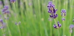 seven-stress-relief-plants-3-lavender