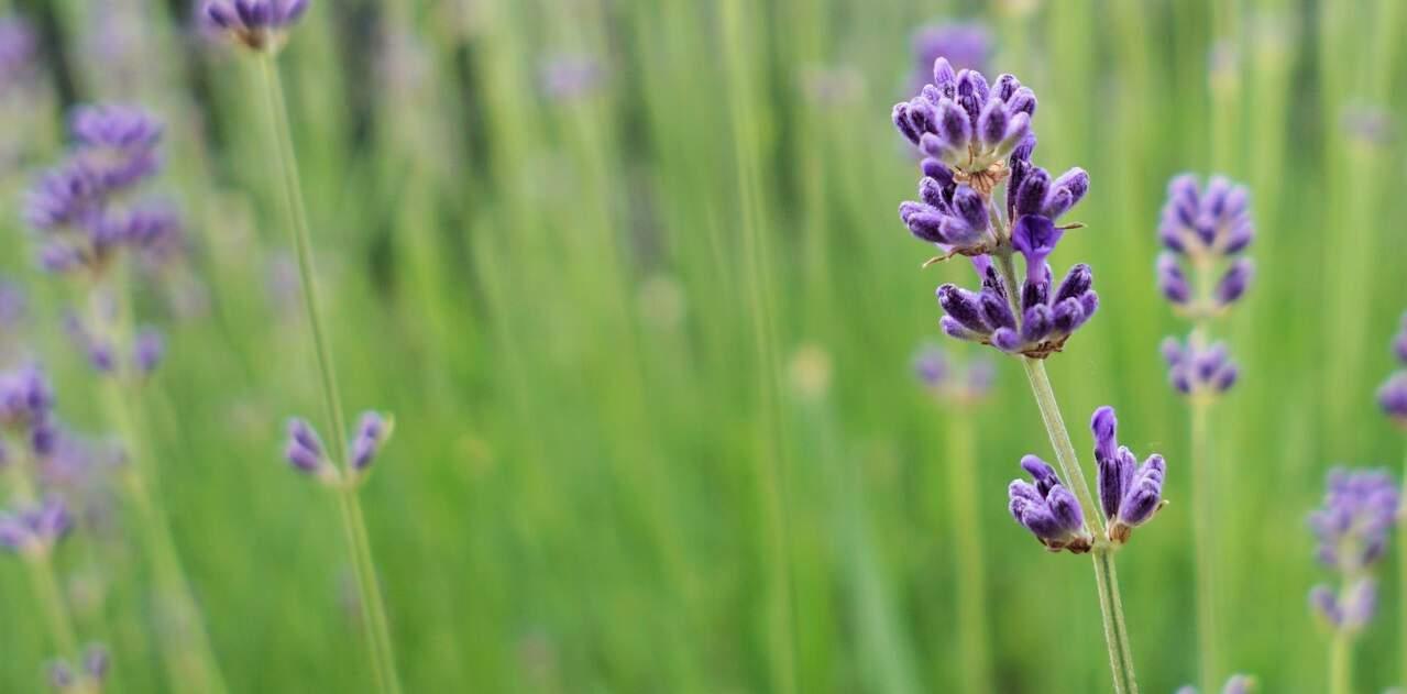 seven-stress-relief-plants-3-lavender