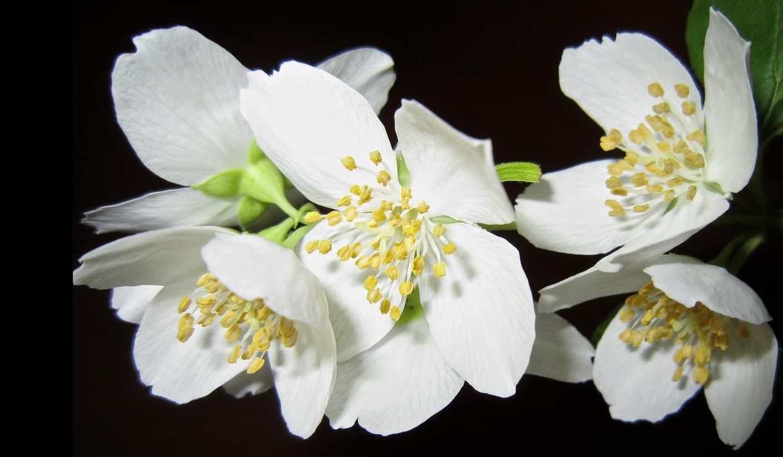 seven-stress-relief-plants-4-jasmine