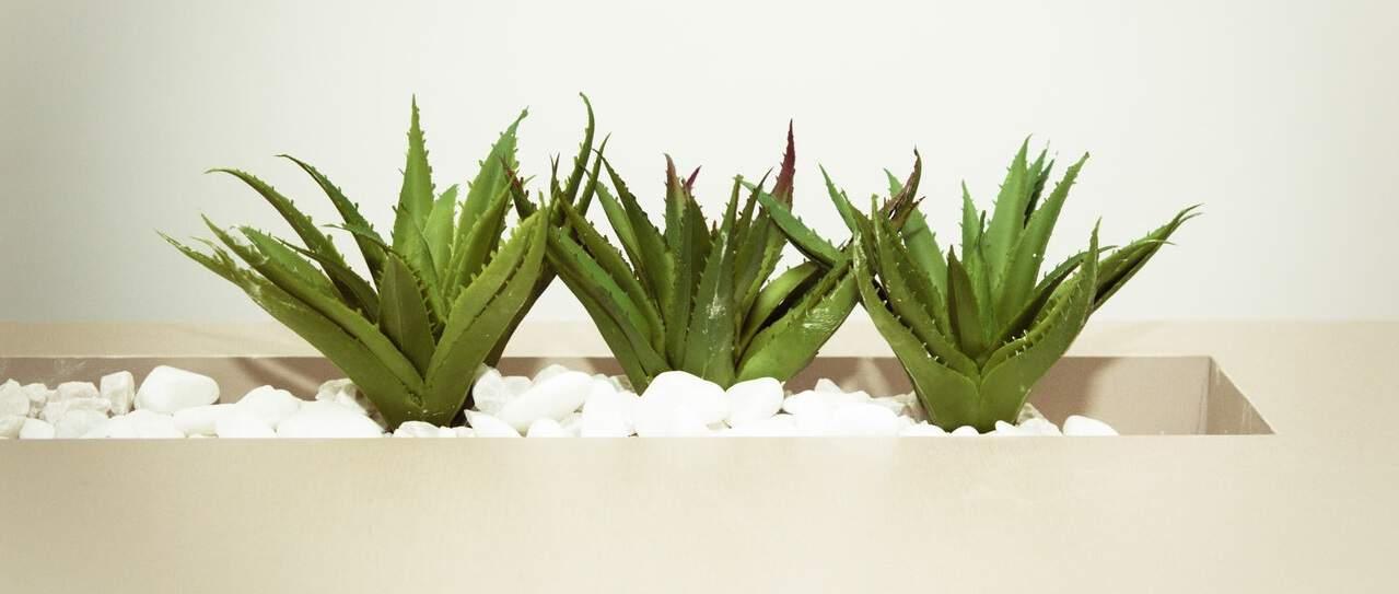 seven-stress-relief-plants-5-aloe-vera