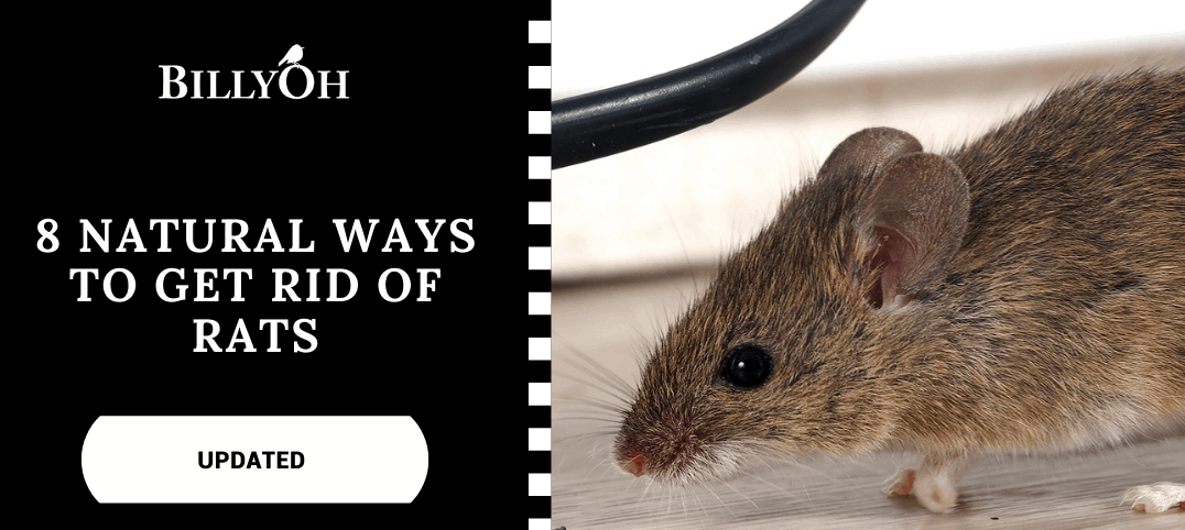 How To Get Rid of Rats with large rat next to a chewed wire