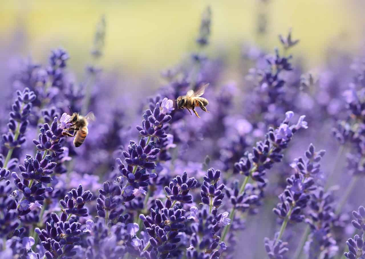 best-plants-for-pollinators-1-lavender