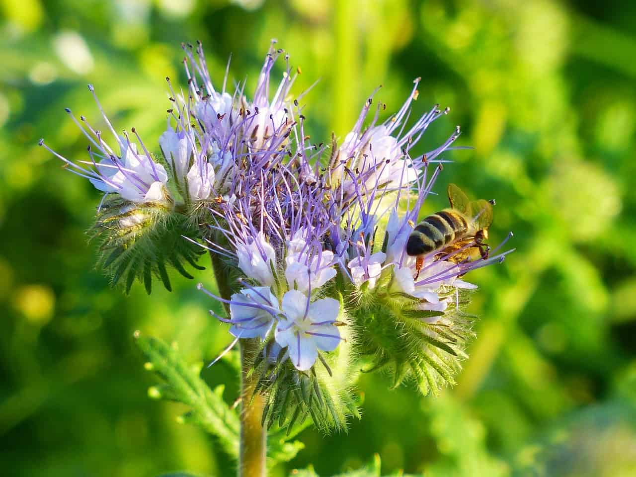 best-plants-for-pollinators-2-phacelia