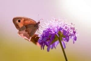 best-plants-for-pollinators-3-scabious