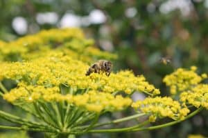 best-plants-for-pollinators-4-fennel