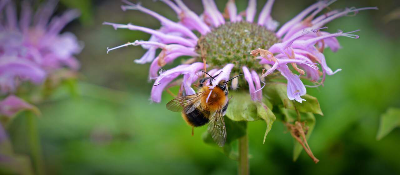 best-plants-for-pollinators-5-monarda