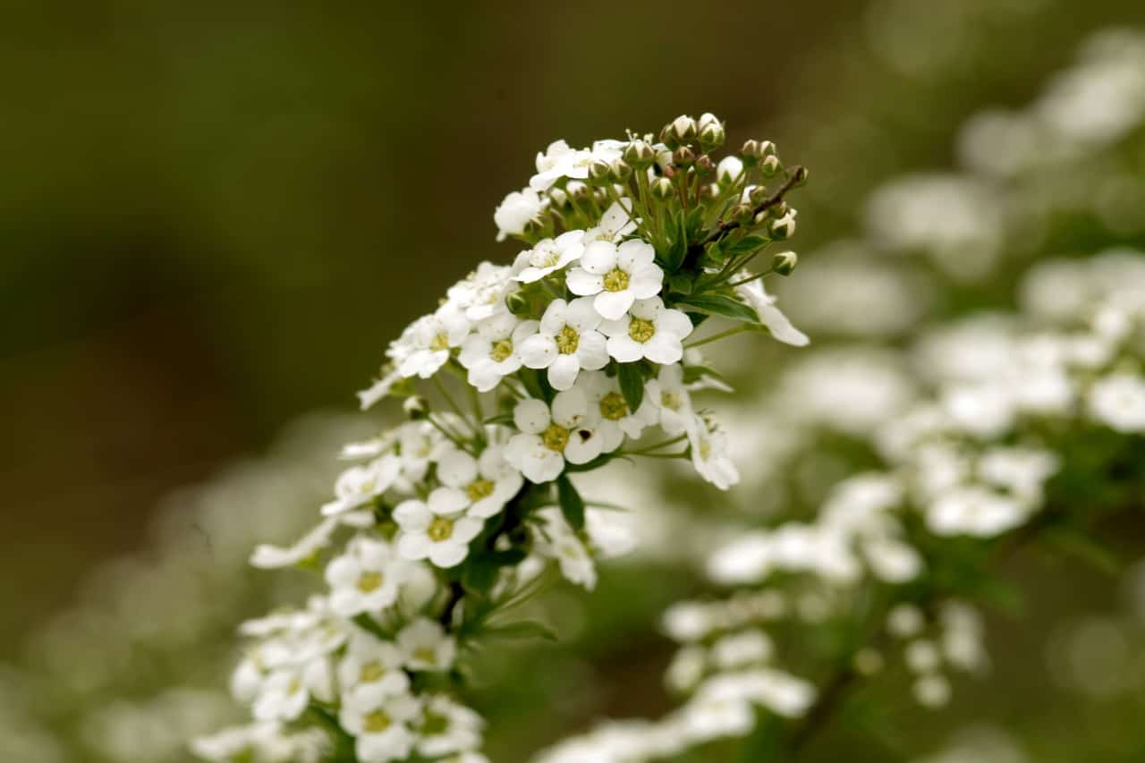 best-plants-for-pollinators-6-sweet-alyssum