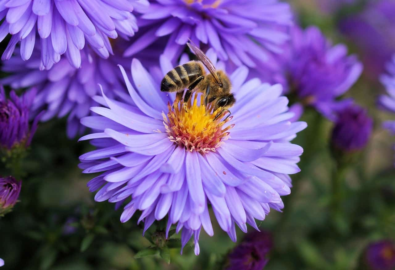 best-plants-for-pollinators-7-aster