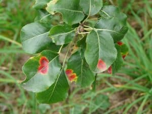 common-plant-diseases-cure-1-rust