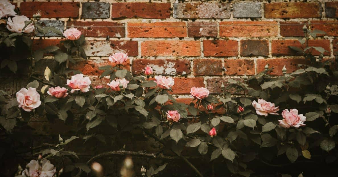 consider-choosing-garden-climbers