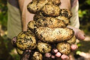 end-of-summer-gardening-4-potatoes