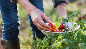 end-of-summer-gardening-6-harvest