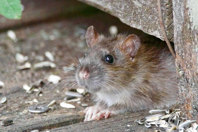 rat in a corner of some wood