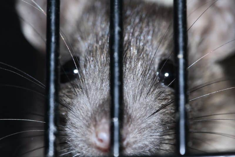 close-up of rats face pressed against metal grate