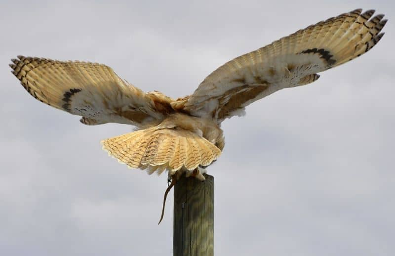 owl on a post with wings spread and a rats tail poking out