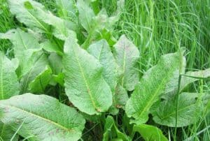 identify-common-weeds-uk-1-broad-leaved-dock