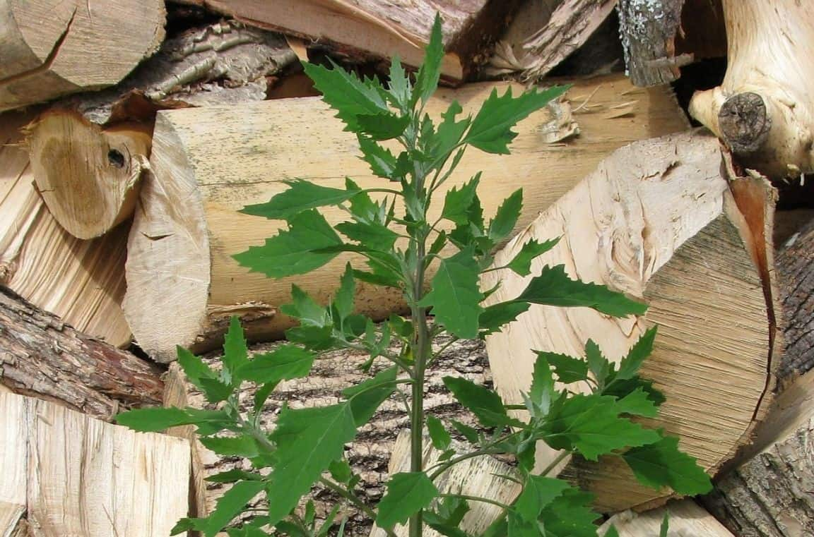 identify-common-weeds-uk-4-lambs-quarter