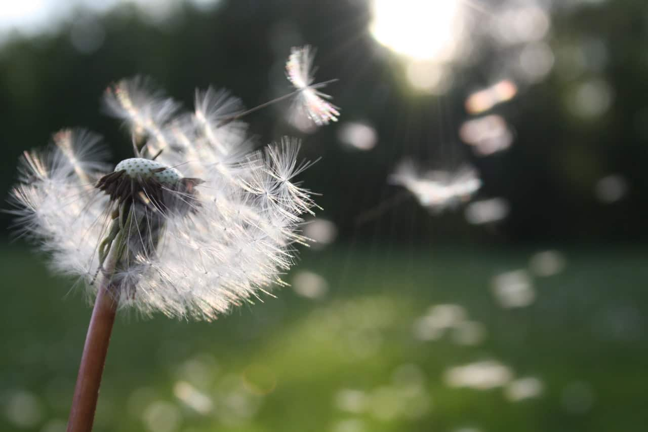 identify-common-weeds-uk-6-dandelion