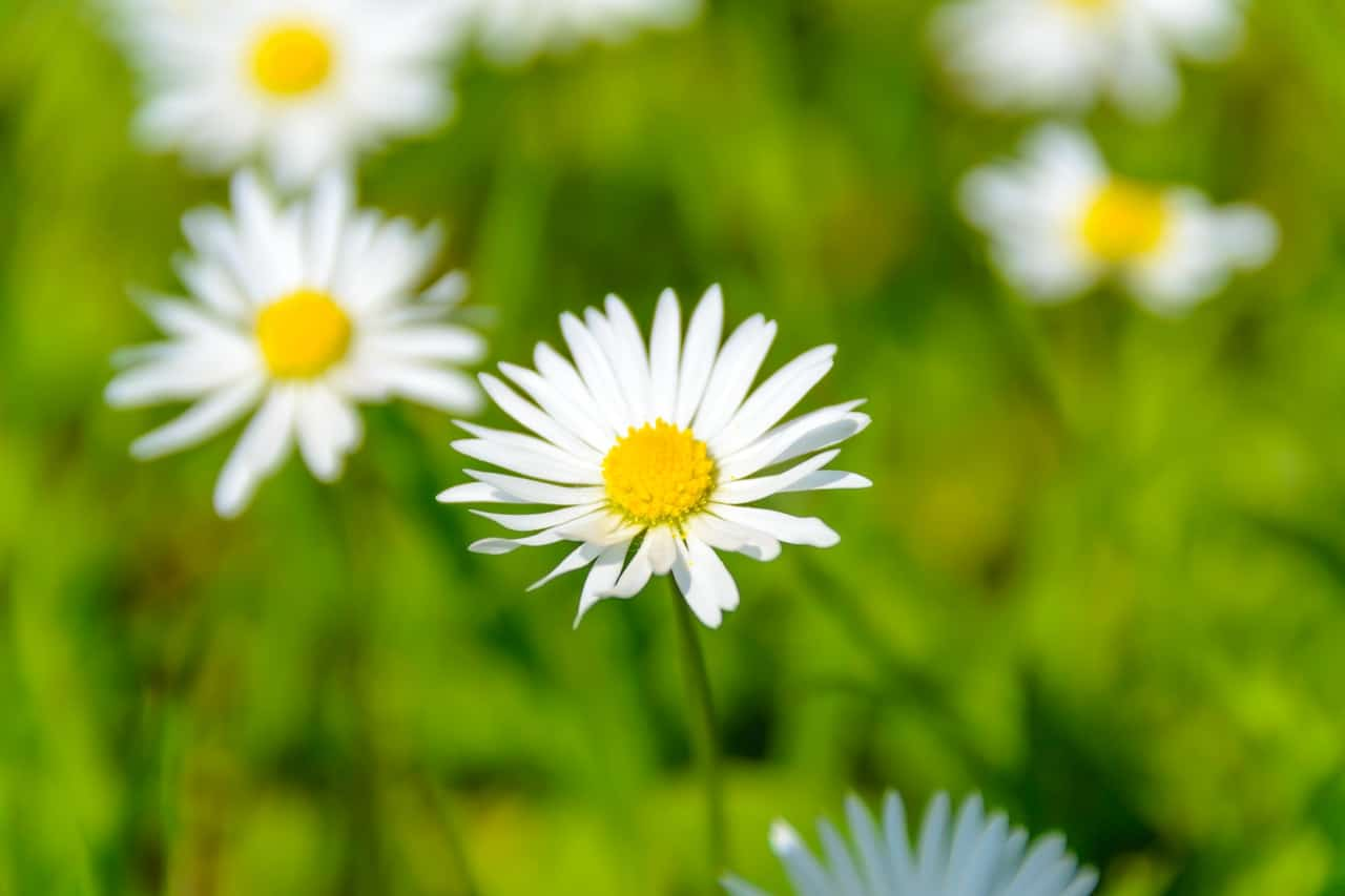 identify-common-weeds-uk-7-daisy