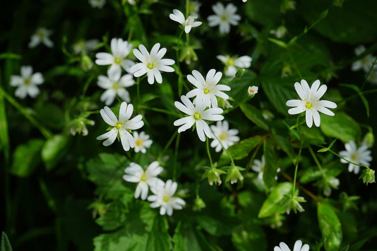 identify-common-weeds-uk-8-chickweed